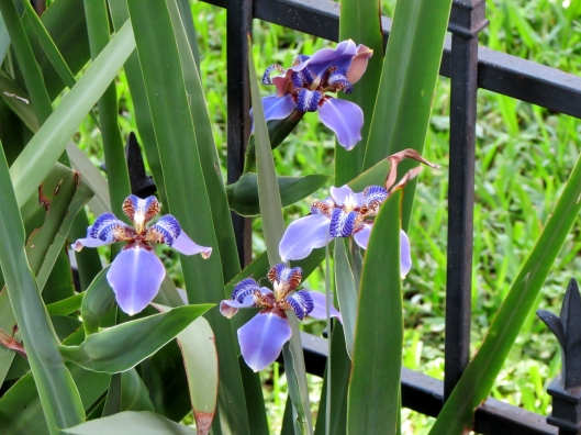 Giant Walking Iris