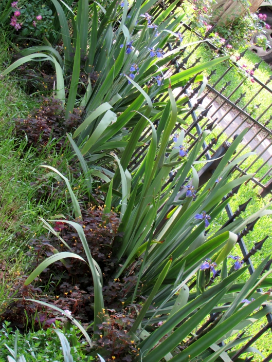 Giant Apostles' Iris Walking Iris Neomarica caerulea 'Regina'