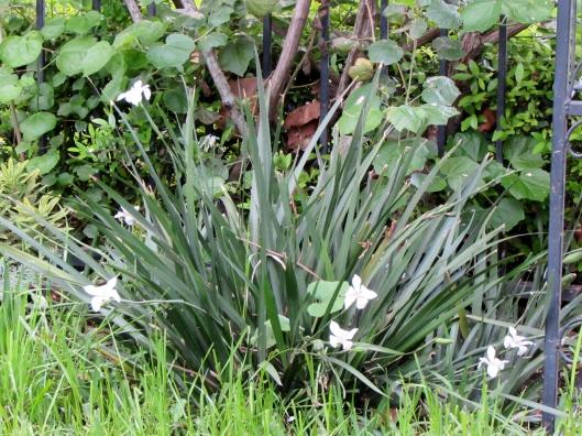 Danny's Dwarf Butterfly iris