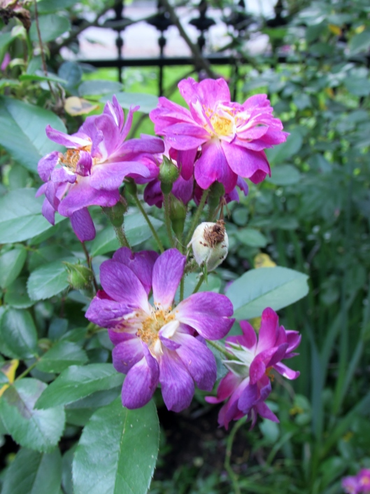 Veilchenblau rose