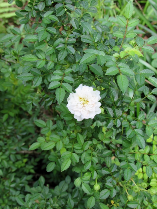 Micro mini rose