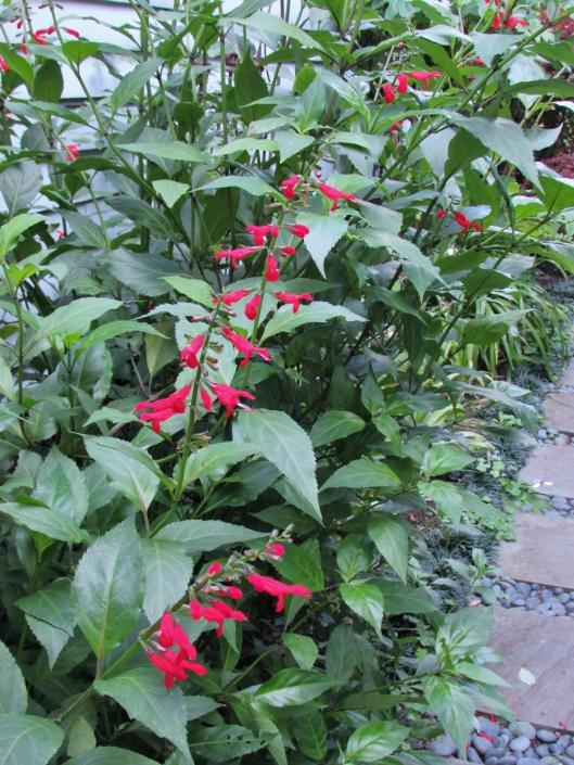 Salvia miniata 'Belize' Sage