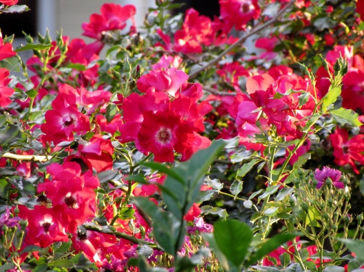 red rambling rose
