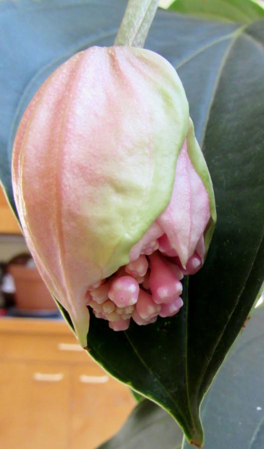 Philippine Orchid, Medinilla magnifica