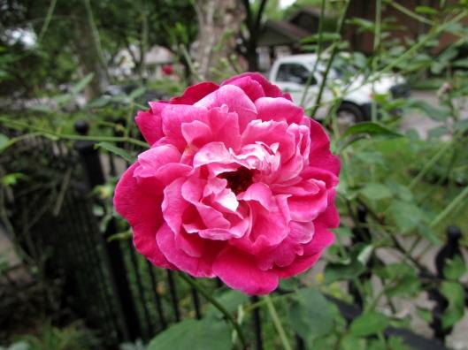 'Dr. Huey'  rose