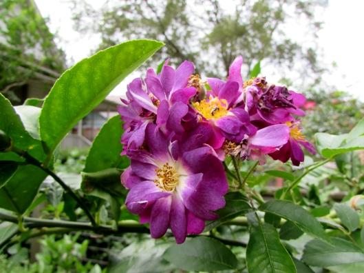veilchenblau roses