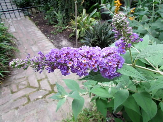 Blue Chip buddleia