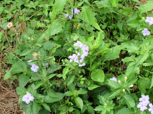 Ruellia caroliniensis (J.F. Gmel.) Steud. Carolina wild petunia Acanthaceae (Acanthus Family)