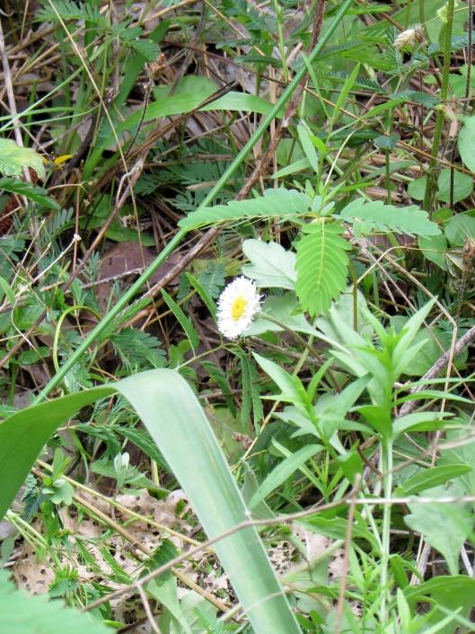 Erigeron annuus (L.) Pers. Daisy Fleabane, Eastern daisy fleabane Asteraceae (Aster Family)