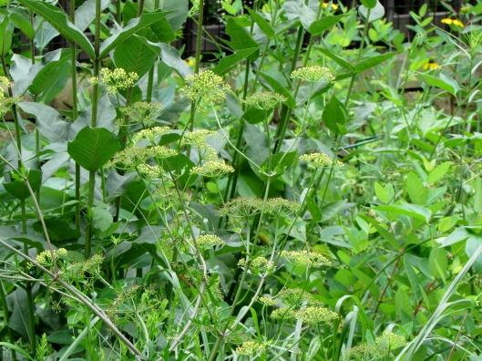 Polytaenia nuttallii DC. Nuttall's prairie parsley, Prairie parsley, Wild dill, Prairie parsnip Apiaceae (Carrot Family)