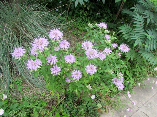 Monarda fistulosa L. Wild bergamot, Beebalm Lamiaceae (Mint Family)