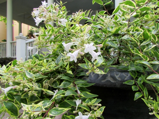 Abelia Twist of Lime