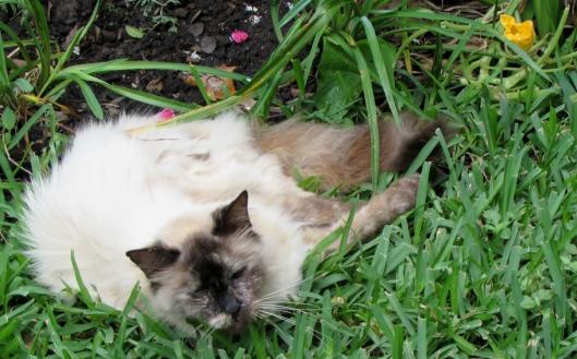 Cat with squash blossom, Viola at Ravenscourt Gardens