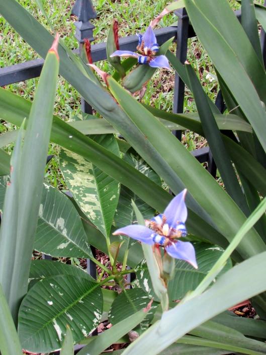 Iris Neomarica caerulea 'Regina', or commonly called the Giant Apostles' Iris