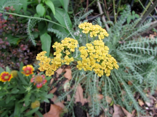 Terra Cotta Common Yarrow Achillea millefolium 'Terra Cotta'