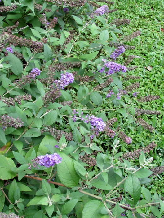 Blue Chip' - Butterfly Bush is still blooming and will continue through most of the summer.