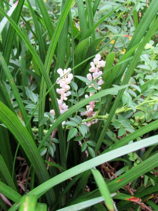 flowers on liriope