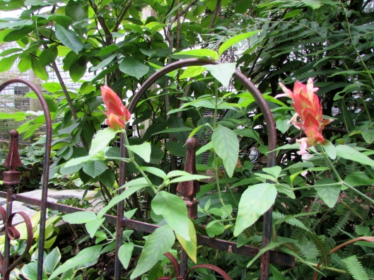 Red Shrimp Plant Justicia brandegeeana at Ravenscourt Gardens