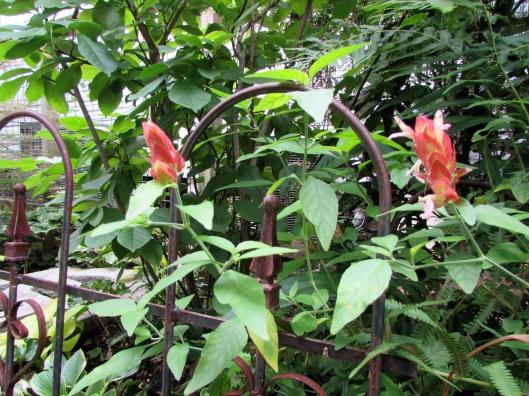 Red Shrimp Plant Justicia brandegeeana at Ravenscourt Gardens