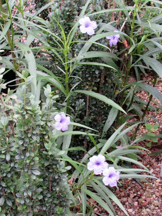 Mexican wild petunia ruellia caroliniensis, a volunteer that has decided to mix in with our Sky Pencil hollies.