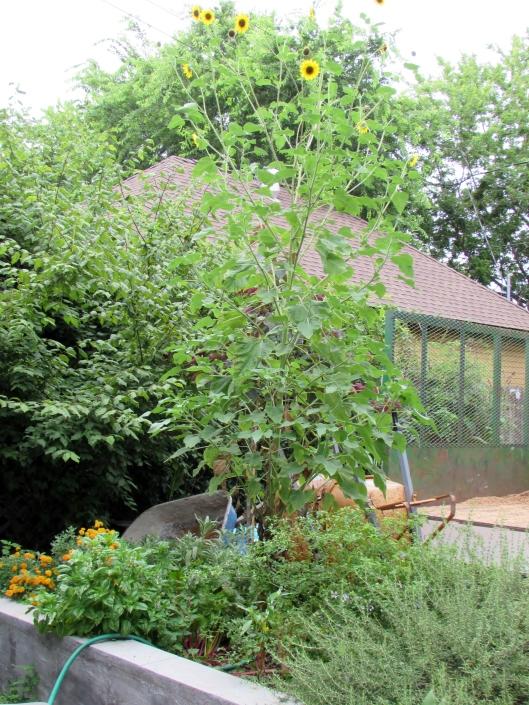 wild sunflower at Ravenscourt Gardens