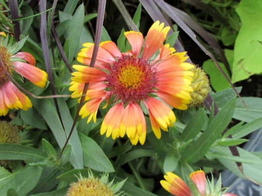 Gaillardia aristata 'Lucky Wheeler' Blanket Flower