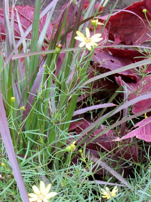 Moonbeam Coreopsis, Coreopsis verticillata 'Moonbeam'