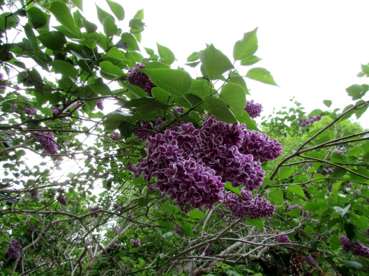 Variegated Lilac