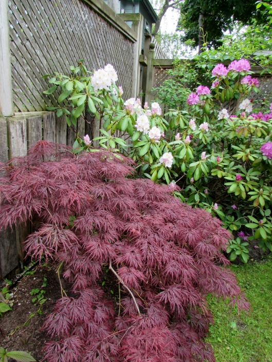 Japanese Maple and Rhododendron