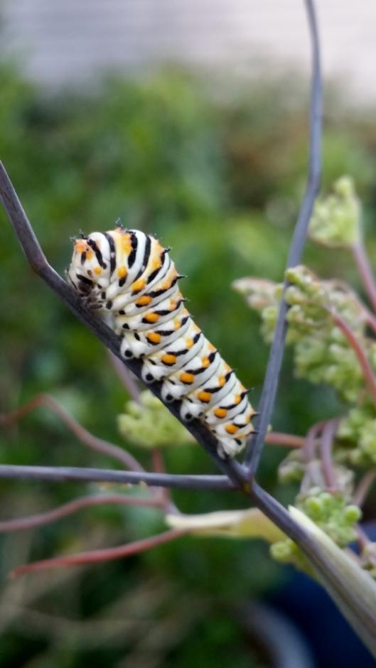 Swallowtail caterpillar 2