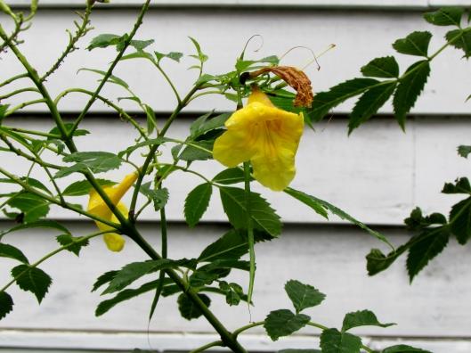 Esperanza Yellow Bell