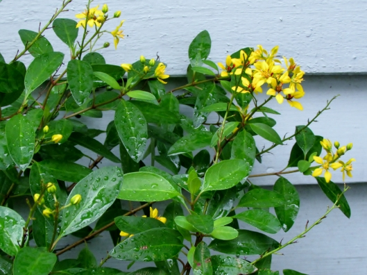 Thryallis, Golden Thryallis Galphimia gracilis