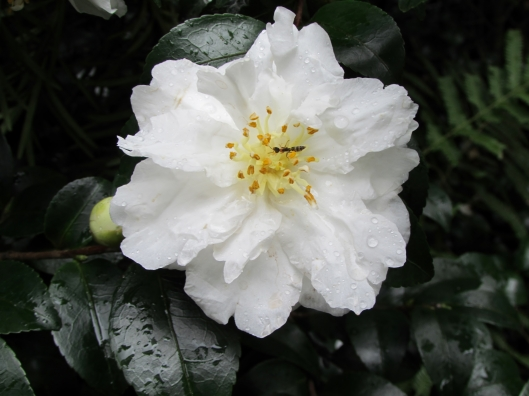 White Doves Camellia Camellia sasanqua 'White Doves' ('Mine-No-Yuki')