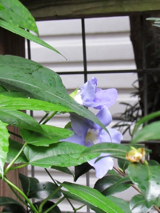 Blue Sky Thumbergia