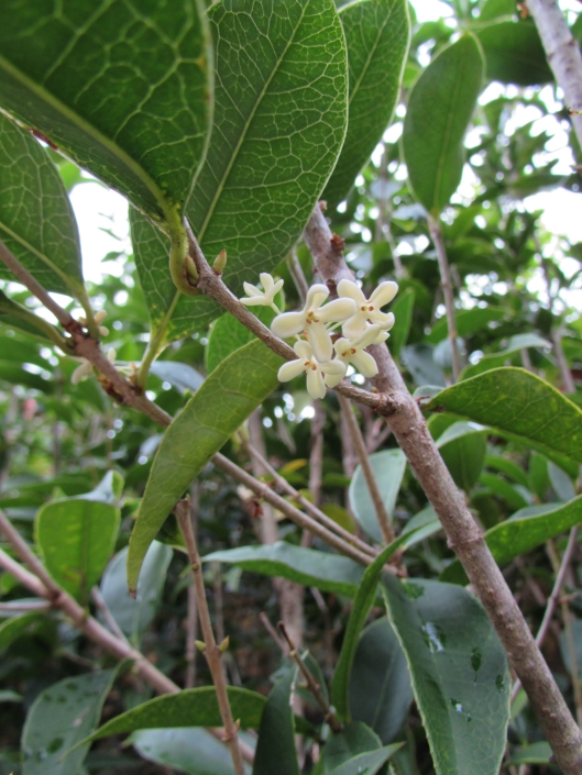 Sweet Olive, Fragrant Tea Olive Osmanthus fragrans