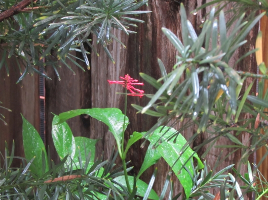 Red Firespike