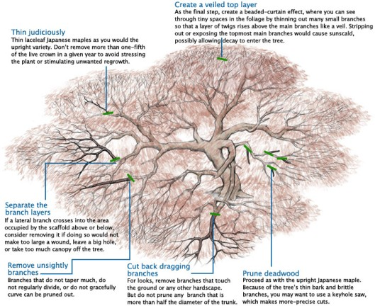 Some great information on training a Japanese Maple.