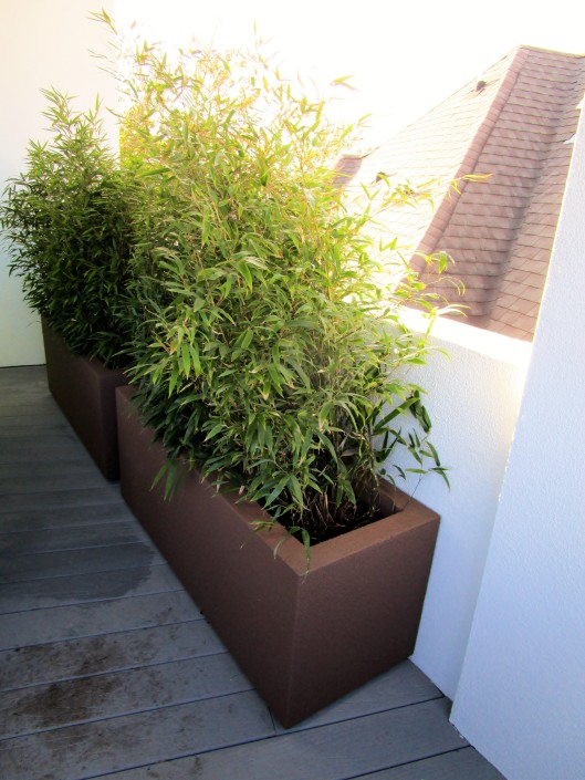 Black Bamboo in polycretre container.