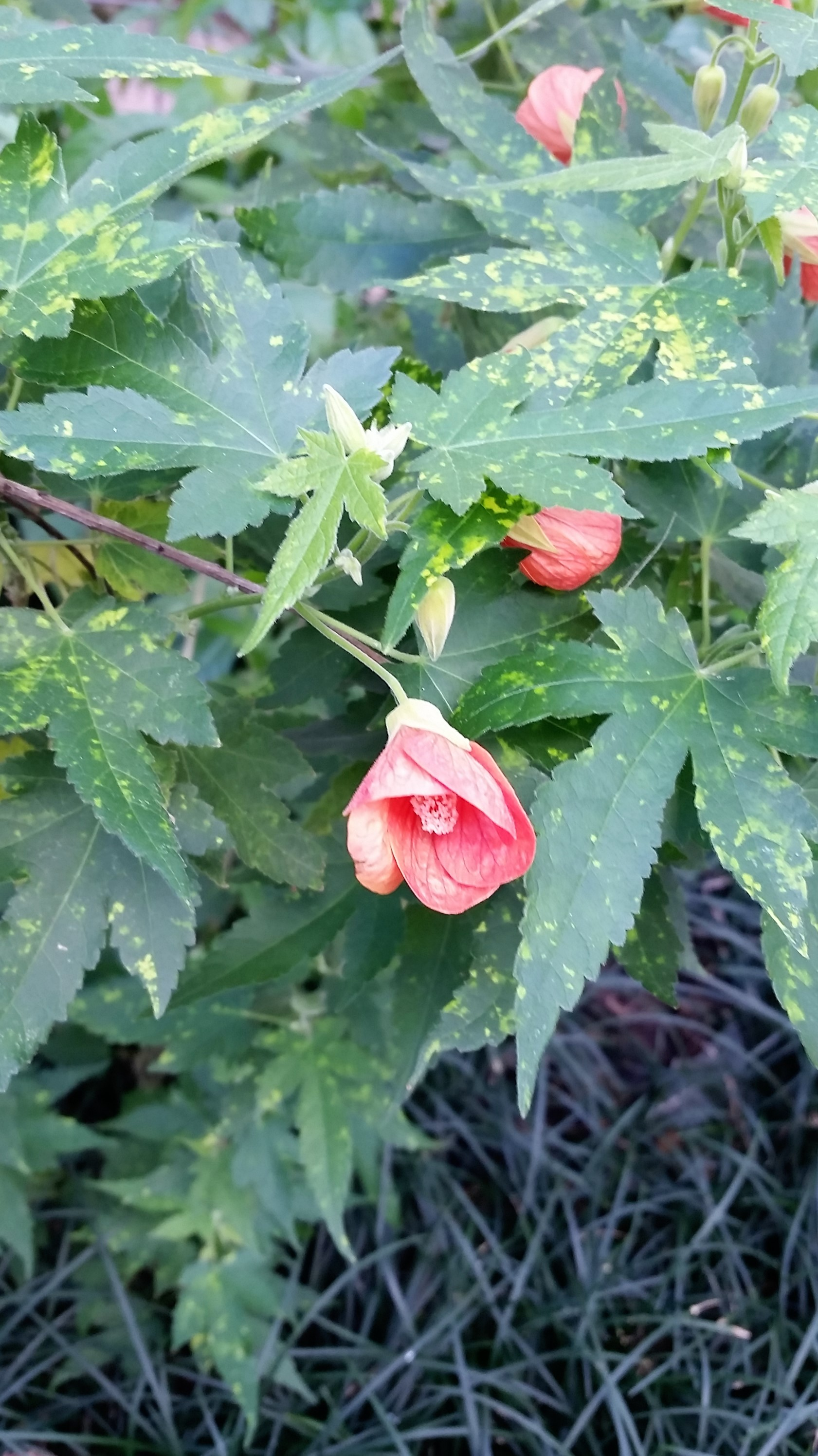 I Believe I Might Be Collecting Abutilons – Influences of ... on shade perennials, back garden designs, landscape designs, sculpture garden designs, shady garden designs, potager garden designs, enclosed garden designs, butterfly garden designs, mary garden designs, green wall designs, container garden designs, formal garden designs, drought tolerant garden designs, shade plants, shade herbs, rock garden designs, shade gardens zone 5, shade flowers, tropical garden designs, cactus garden designs,