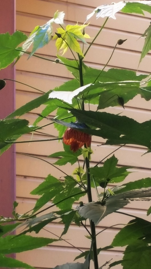 Abutilon pictum (Gillies ex Hook. & Arn.) Walp.