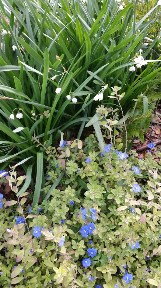 Blue Daze and Snowdrops at Ravenscourt Gardens
