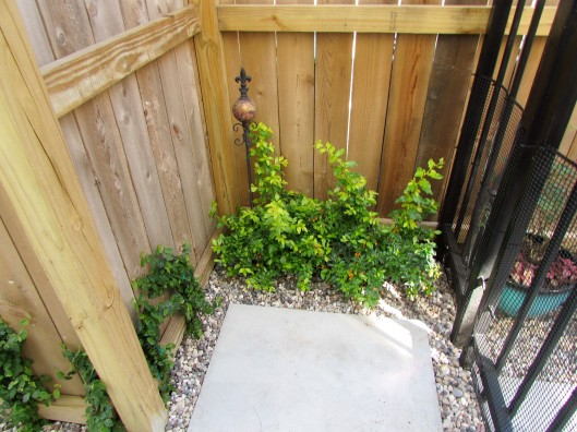 Entrance with White duranta erecta and Fig ivy.
