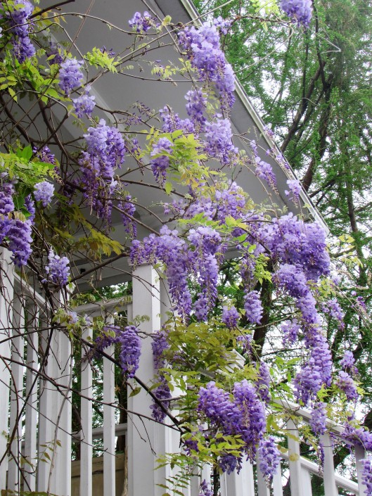 Wisteria on Ravenscourt Cottage