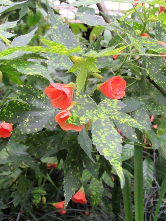 Abutilon 'Salmon Variegated'