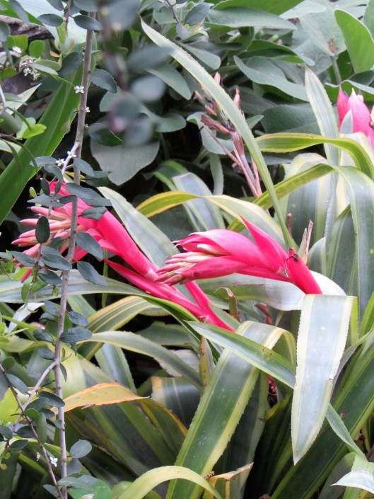 Bromeliad in bloom at Ravenscourt Garden