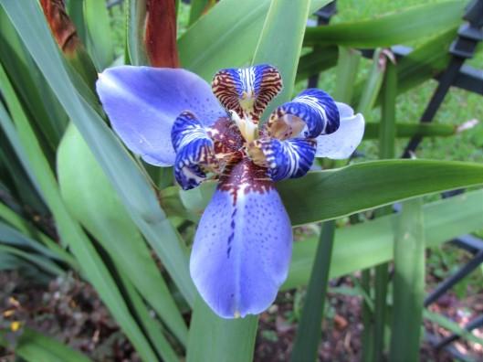 Neomarica caerulea 'Regina' Iridaceae