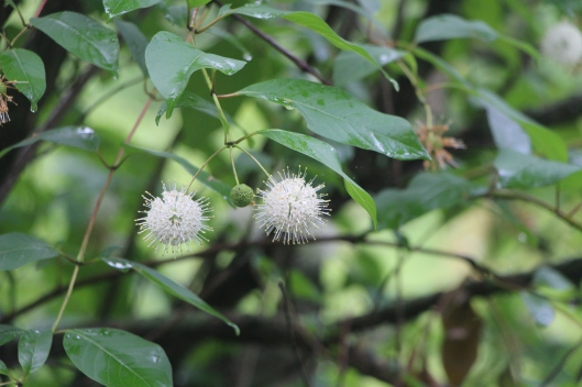 #GBFling2016 Button Bush Cephalanthus occidentalis