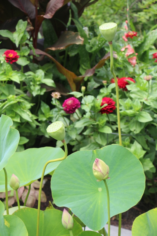 #GBFling2016 lotus flowers and seed pods