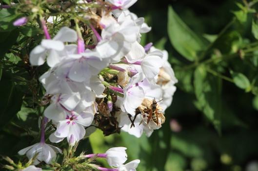 #GBFling2016 Wasp as a pollinator