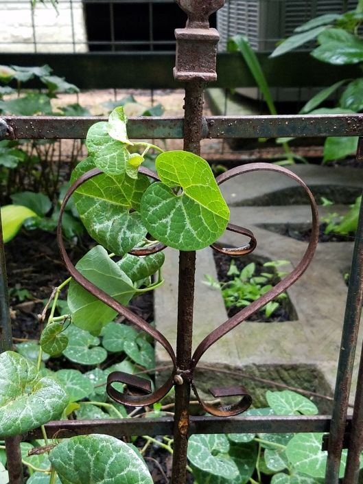Aristolochia fimbriata (White Veined Hardy Dutchman's Pipe)